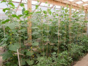 greenhouse cucumbers
