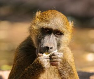 Longevity in animals - monkey eating