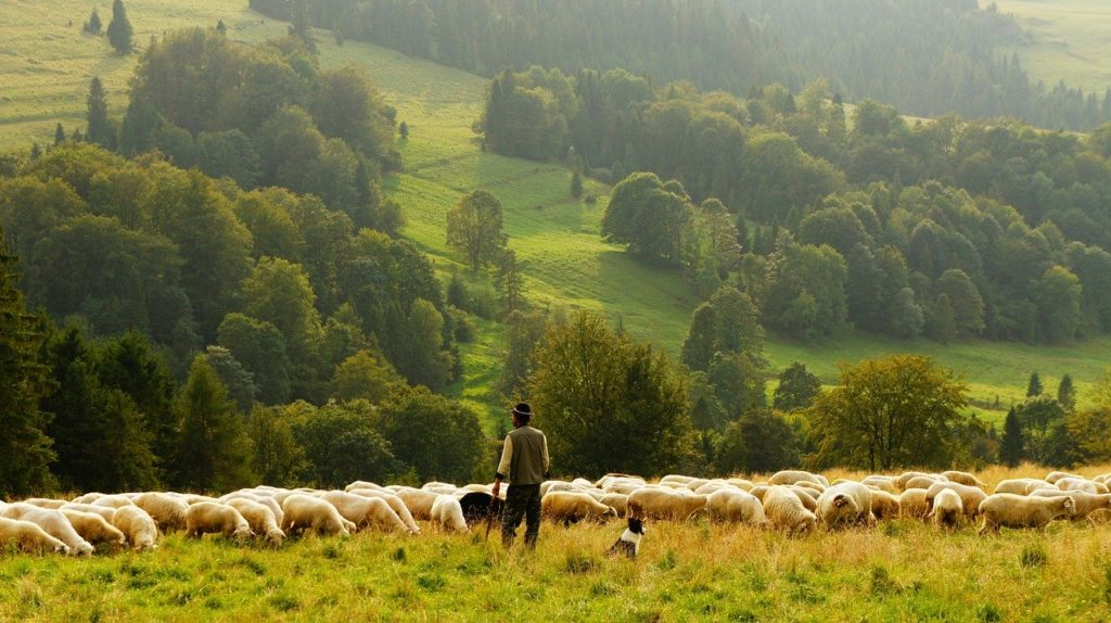 sheep with shepherd grazing