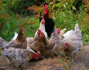 chickens feeding on grain