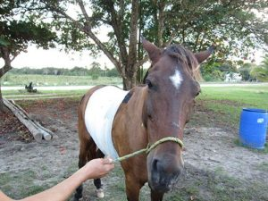 Bandaged Horse with wound