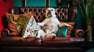 Dog on Couch Odor Removal