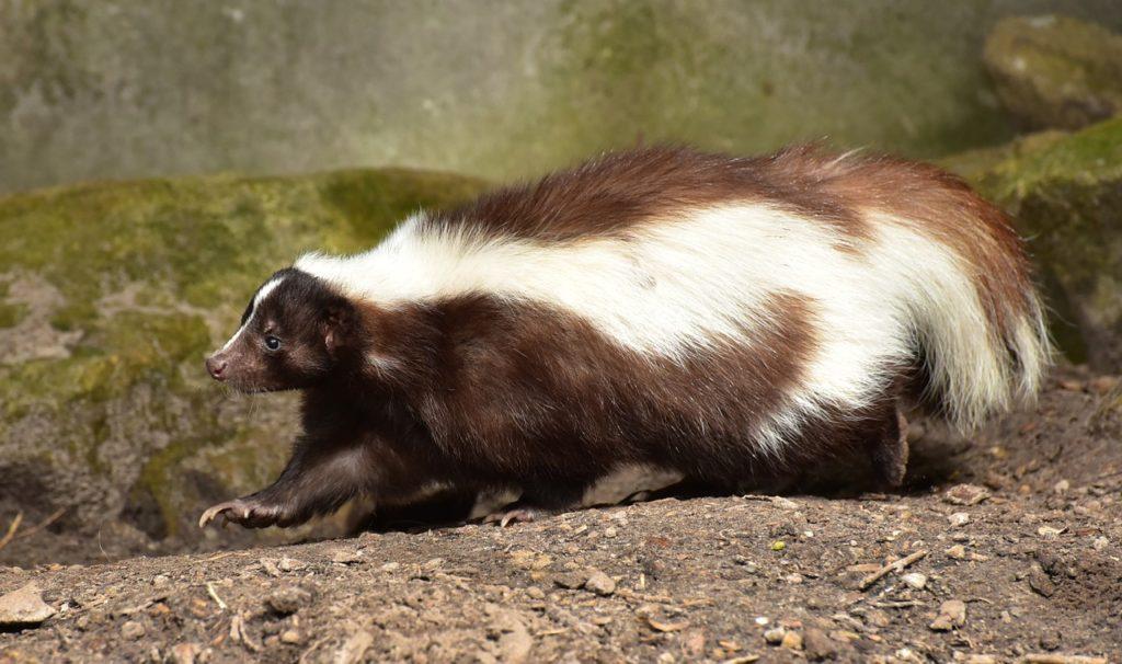 Skunk Odor Removal